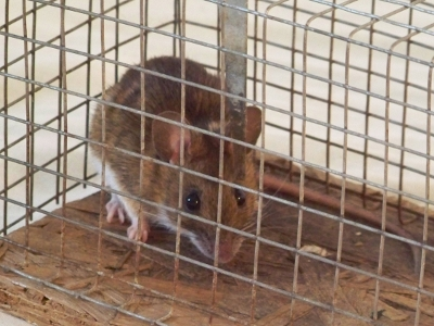 Glücklose Maus