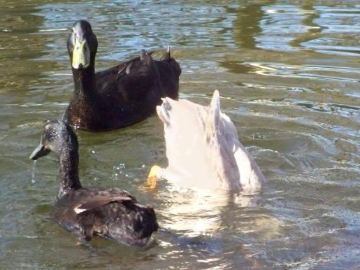 Ente hat einen Stein aufgestossen