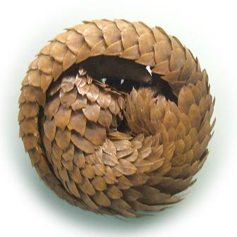 Pangolin - Gürteltier