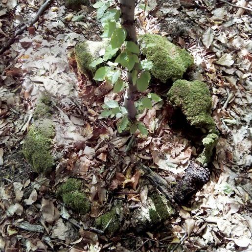 Junger Baum aus altem Stamm