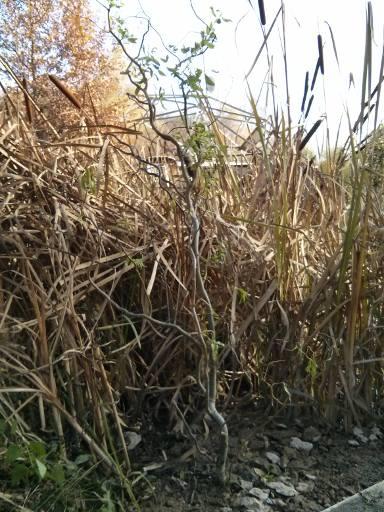 Weide in Bauschutt